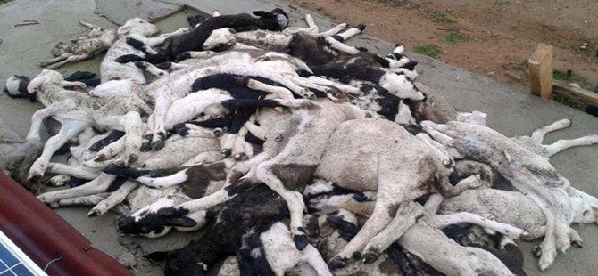 Kurtların Saldırısında 40 Koyun Telef Oldu