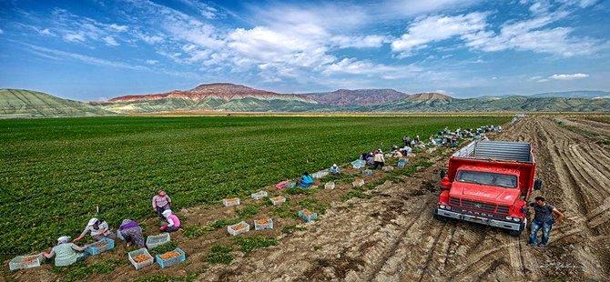 Beypazarı'nda Yazlık Havuç Üretimi Başladı
