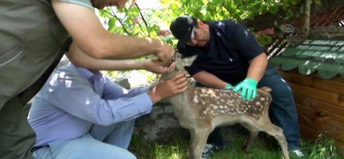 Beypazarı'nda Çoban Köpeklerinin Yaraladığı Yavru Geyik Tedavi Edildi