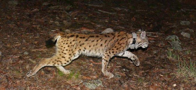 Beypazarı'nda Doğaya 36 Fotokapan Yerleştirildi