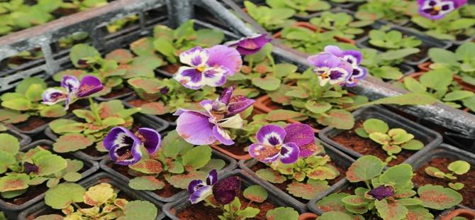 Beypazarı'nda Kış Çiçekleri Açtı