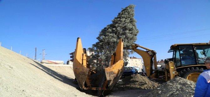 Beypazarı Belediyesi Ağaçları Katletmiyor, Naklediyor...