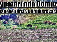 Beypazarı'nda Domuzlar 12 Mahallede Tarla ve Ürünlere Zarar Verdi