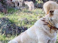 Beypazarılı Ustanın Yaptığı Köpek Tasmalarının Ünü Yurt Dışına Yayıldı